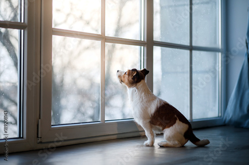 Poster Chien Jack Russell Terrier on the window sill