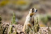 Adult Prairie Dog Standing Att...