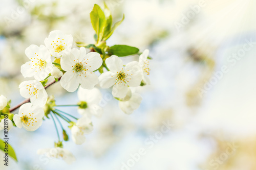 Poster Lente Spring background art with white cherry blossom. Beautiful nature scene with blooming tree and sun flare. Sunny day. Beautiful orchard. Abstract blurred background. Shallow depth of field.