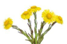 Tussilago Farfara Flowers