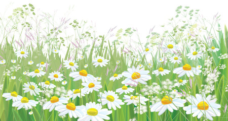 Naklejka Vector blossoming daisy flowers field, nature border isolated.