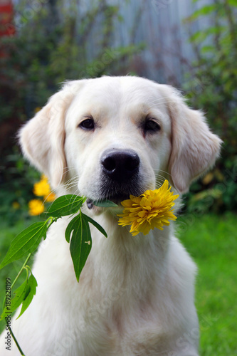 Fotografie, Obraz  pedigree white dog Golden Retriever with yellow flower rudbeckia in hish teeth