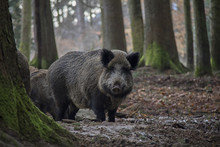 Portrait Of Wild Boar In Fores...