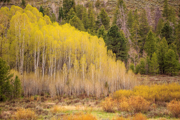 Fototapeta Brzoza Spring landscape in the Wasatch Mountains, Utah, USA.