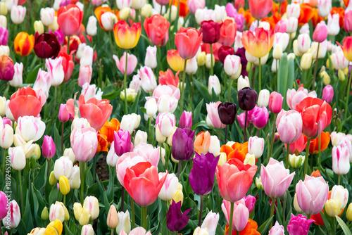 Foto op Plexiglas Tulp Beautiful field of colorful tulips.