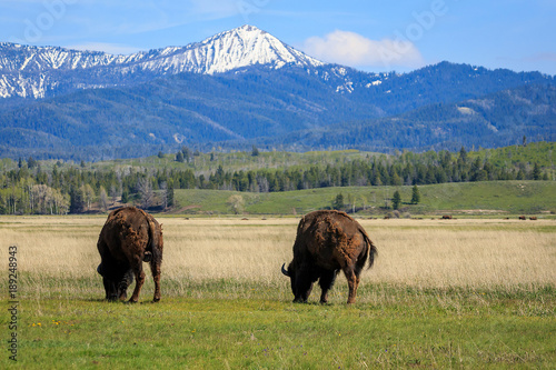 Bison graze in Grand Teton National Park, Wyoming, USA. Tableau sur Toile