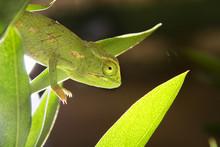 Common Chameleon Close Up