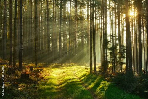 Papiers peints Forets Footpath through Forest of Pine Trees Illuminated by Sunbeams through Fog
