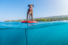 Dog On Standup Board