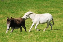 Donkeys Fighting And Biting