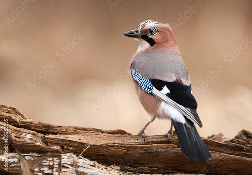 Fotografie, Obraz Eurasian Jay (Garrulus glandarius)
