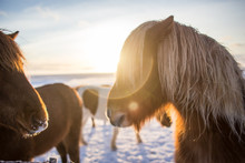 Red-haired Icelandic Horse In ...