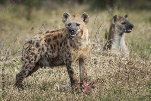 Hyena eating, Africa