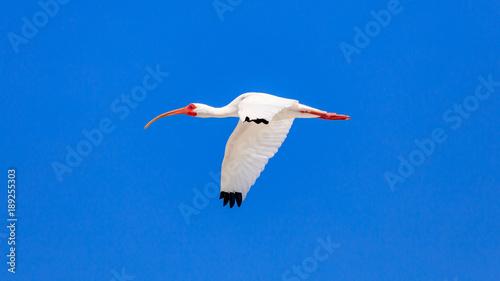 Photo  White ibis, Eudocimus albus, flying against blue sky, Florida USA