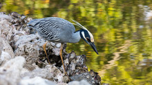 Yellow-crowned Night-Heron, Nyctanassa Violacea, Looking For Food At The Pond