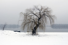 Lonely Willow On The River Ban...