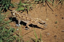 """Horned Lizard """"Horny Toad"""""""