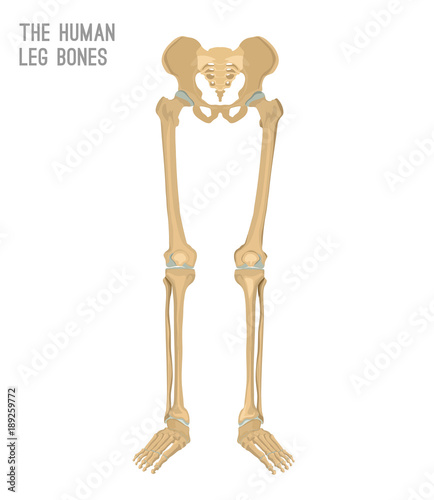 Human leg bones - Buy this stock vector and explore similar vectors ...