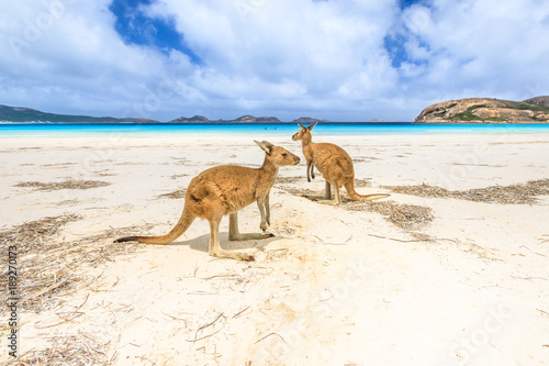 Foto op Aluminium Kangoeroe kangaroos standing at Lucky Bay in Cape Le Grand National Park, near Esperance in Western Australia. Lucky Bay is one of Australia's most well-known beaches known for pristine white sand and kangaroos
