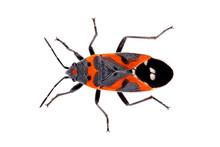 Bug Small Milkweed Bug Lygaeus...