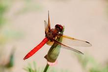 Red Skimmer Dragonfly Sympetru...