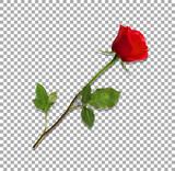 bardzo szczegółowy kwiat czerwonej róży na przezroczystym tle