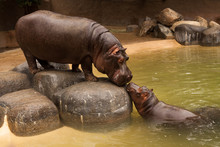 Kissing Hippos