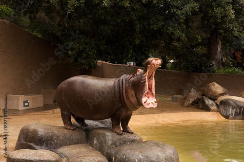 Yawning Hippo Wallpaper Mural
