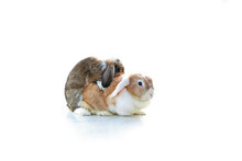 Mating Rabbit. Mini Lop Ear Ra...