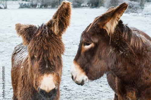 Primer plano, hembra y cría de burro, en invierno con nieve. Equus africanus asinus.