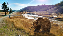 Close Up Bear In Yellowstone N...