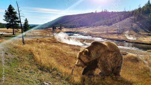 Close up Bear in Yellowstone National Park Fotobehang