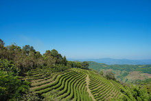 Tea Plantation In Doi Mae Salong, Chiang Rai Thailand