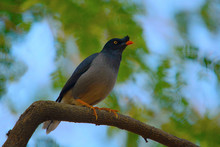 Myna Or Mynah Is A Bird Of The...