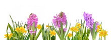 Hyacinth And Daffodils Blooming On White Background