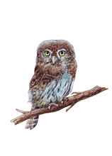 Watercolor Hand Drawn Pygmy Ow...