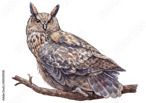 Deurstickers Uilen cartoon Watercolor hand drawn long-eared owl on white background