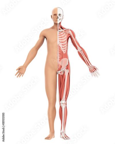 Human Body amd Skeleton Anatomy Isolated – kaufen Sie diese ...
