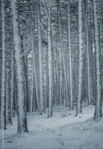 Tuinposter Berkbosje winter in forest