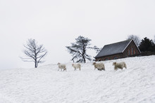 Sheep Walking On Snowy Landscape