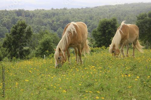 Fotografía  Haflinger Pferde auf Frühlingswiese, Toskana, Italien, Europa