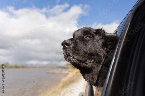 A black newfoundland dog sticking it's head out of a car window Fototapeta