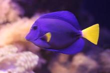 A Beautiful Zebrasoma Fish