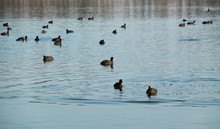 A Lot Of European Coots (Fulic...