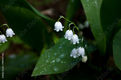 In de dag Lelietje van dalen Lily of the valley flowers (may-lily) close-up