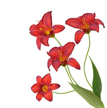Red Daylily Flowers Isolated O...