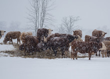 Cattle And Snowfall
