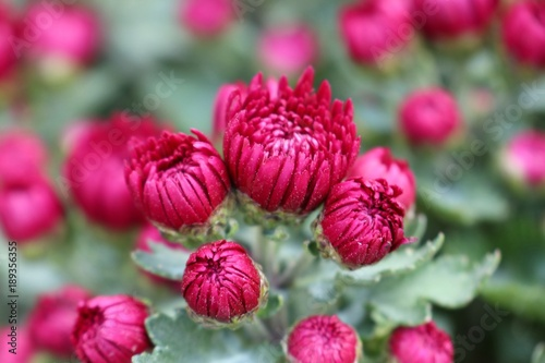 Spoed Foto op Canvas Roze Chrysanthemum flower in tropical