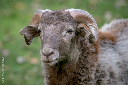 Photo  Portrait of a sheep wich I found it on an open field