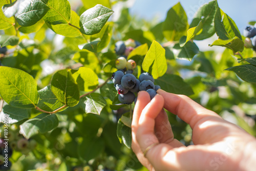 Fotografija Blueberry picking